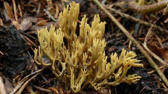 Коралловые грибы: польза и возможный вред | польза и вред