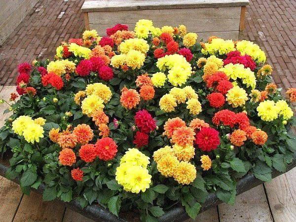 Георгины веселые ребята - посадка и уход за однолетними цветами