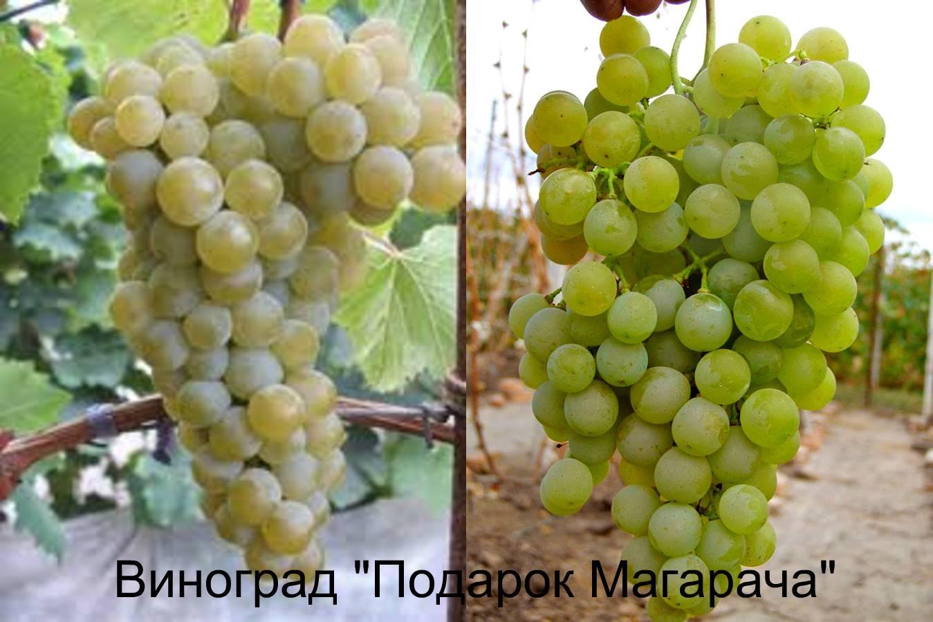 Виноград цитронный магарача: что нужно знать о нем, описание сорта, отзывы