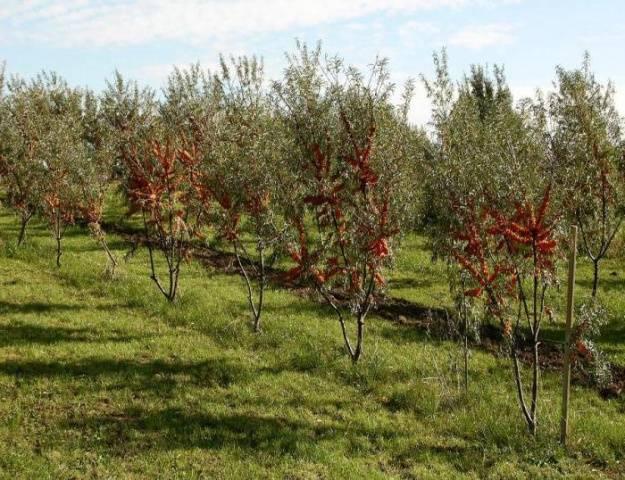 Облепиха алтайская - лучший сорт для дачи и советы по ее выращиванию