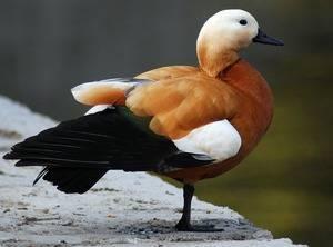 Огарь или красная утка: описание породы, фото, голос