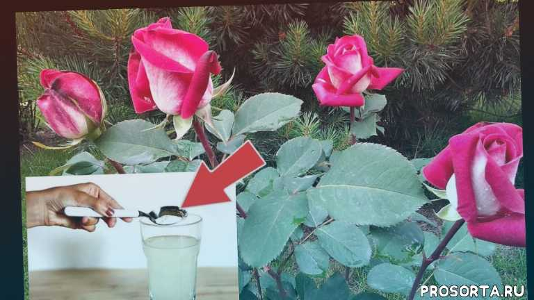Чем подкормить розы весной и летом для пышного цветения - огород, сад, балкон - медиаплатформа миртесен