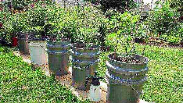 Правила выращивания и ухода за картофелем по методу кизимы