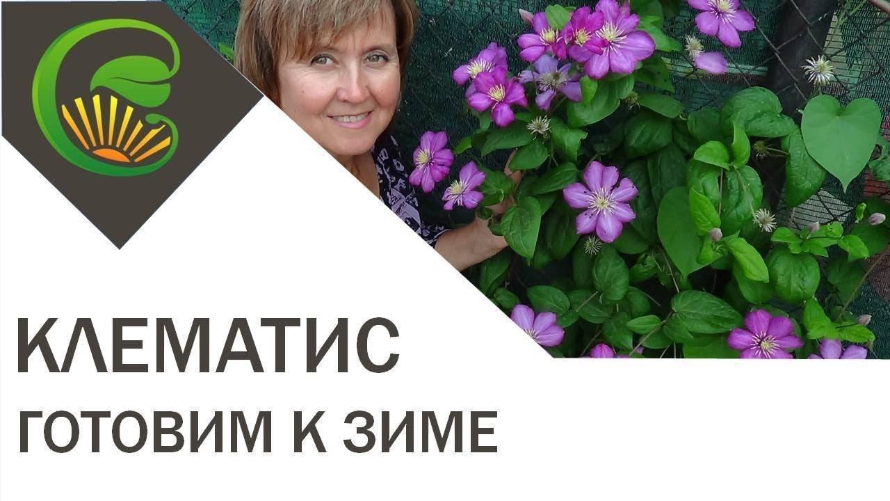 Уход за клематисом осенью и подготовка к зиме: обрезка и укрытие