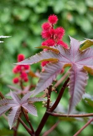 Клещевина: выращивание,посадка и уход