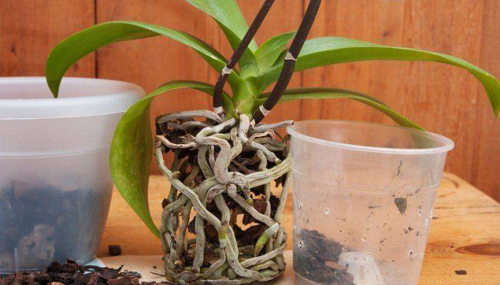 Когда поливать орхидею после пересадки и через сколько дней в первый раз можно увлажнять субстрат?