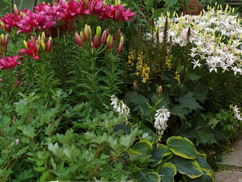 Когда и как пересаживать лилии: уход после цветения