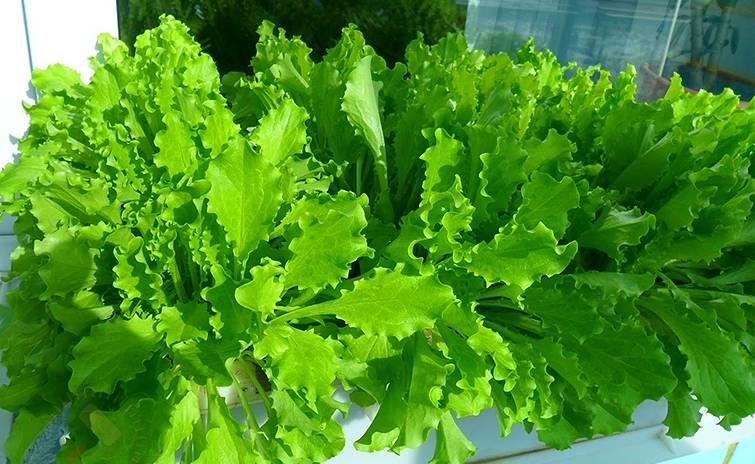 Гидропонные устройства для выращивания зелени: готовые варианты, изготовление своими руками