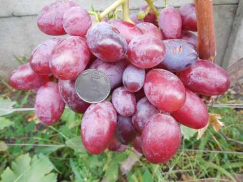 Описание столового сорта винограда подарок несвятая с фото и видео