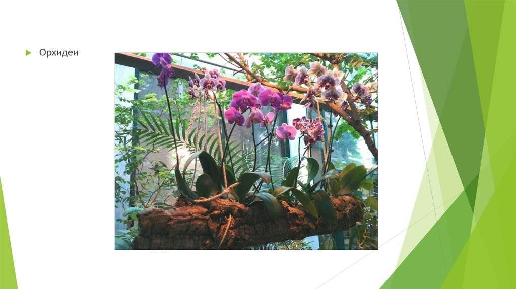 Роскошные и дикие: где растут орхидеи в природе и как классифицируются?