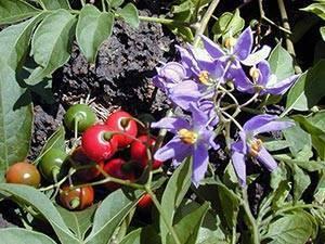 Паслен – уход в домашних условиях. выращивание, пересадка и размножение декоративного паслена. описание, виды