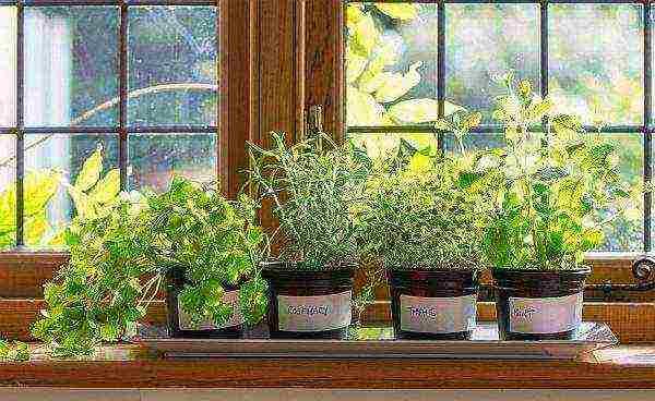 Как вырастить зелень на подоконнике в домашних условиях