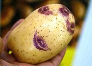 Синеглазка: урожайный и неприхотливый сорт картофеля
