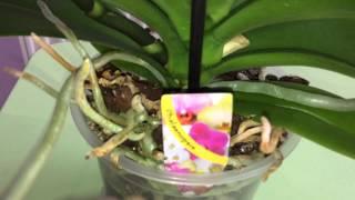 Розовый фаленопсис. описание сортов, обладающих ароматом, ярким окрасом и оранжевой губой