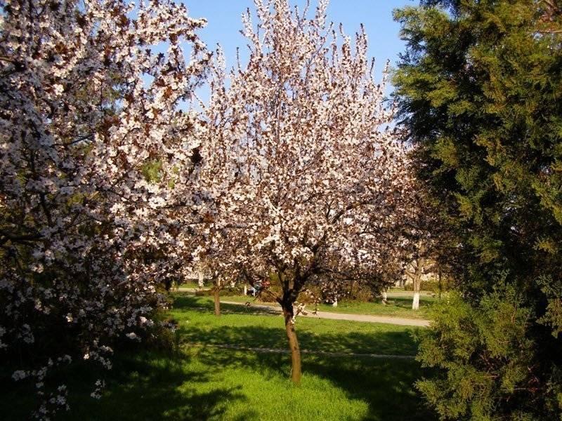 Описание сорта слив скороплодная, фото плодов и уход за деревом
