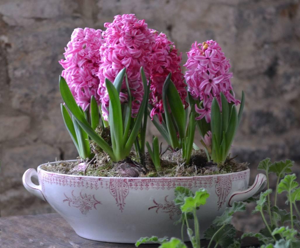 Как хранить луковицы гиацинтов после цветения