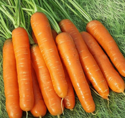 Морковь нантская 4: описание сорта, фото, характеристика