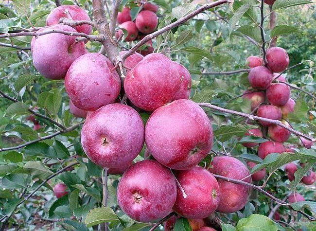 Сорт яблони флорина, описание, характеристика и отзывы, а также особенности выращивания данного сорта