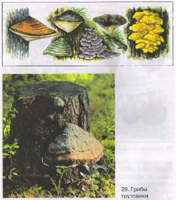 § 10. грибы-паразиты (окончание)