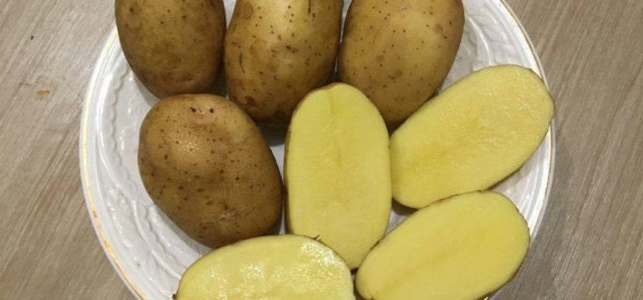 """Картофель бриз - описание сорта, фото, отзывы, посадка и уход - журнал """"совхозик"""""""