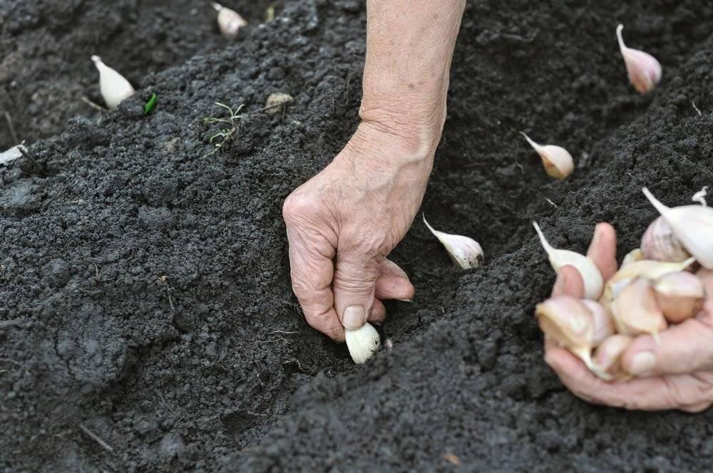 Подготовка грядки под озимый чеснок осенью