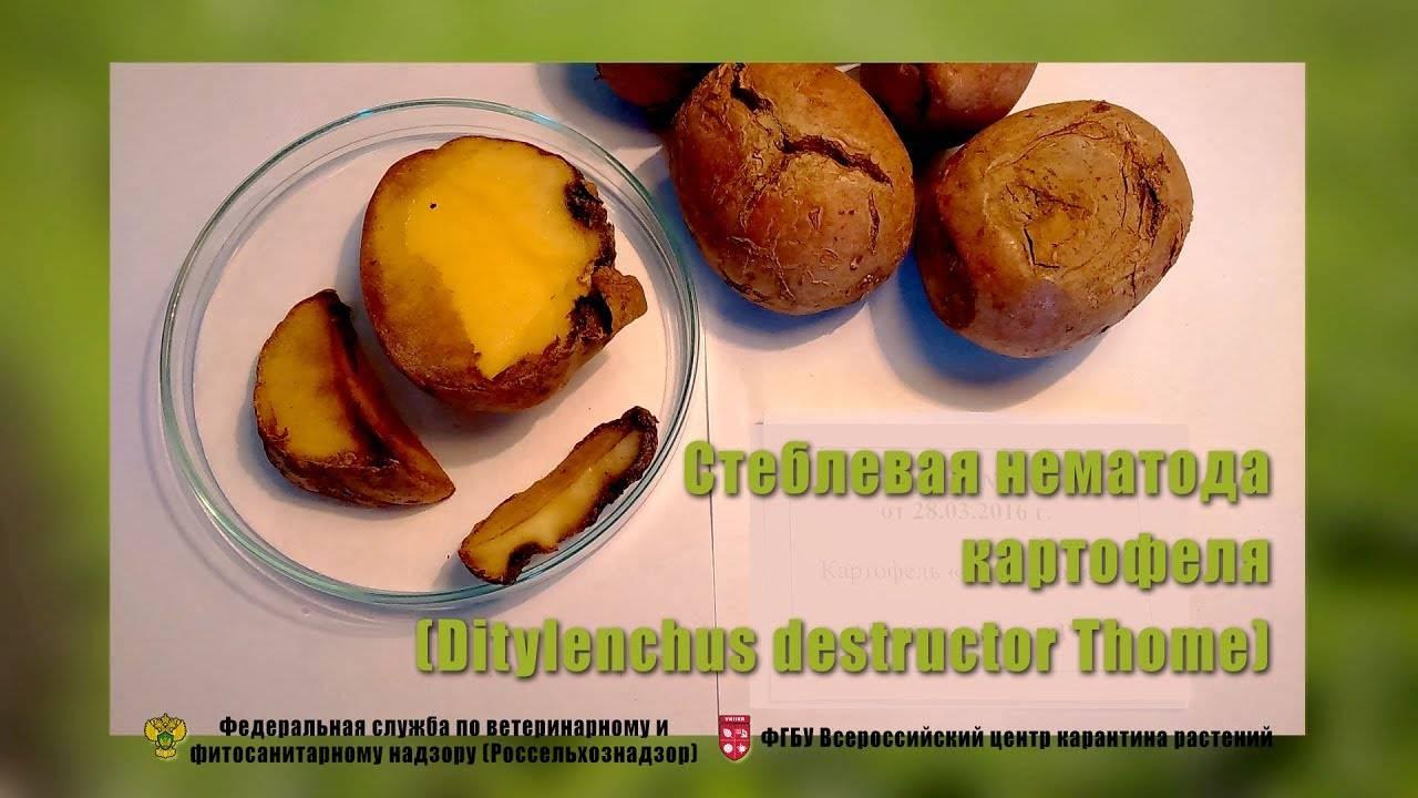 Главные вредители картофеля и методы борьбы с ними