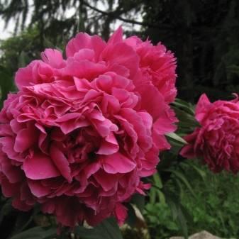 Молочноцветковые пионы очарование и францойз ортегат— что это за вид цветов