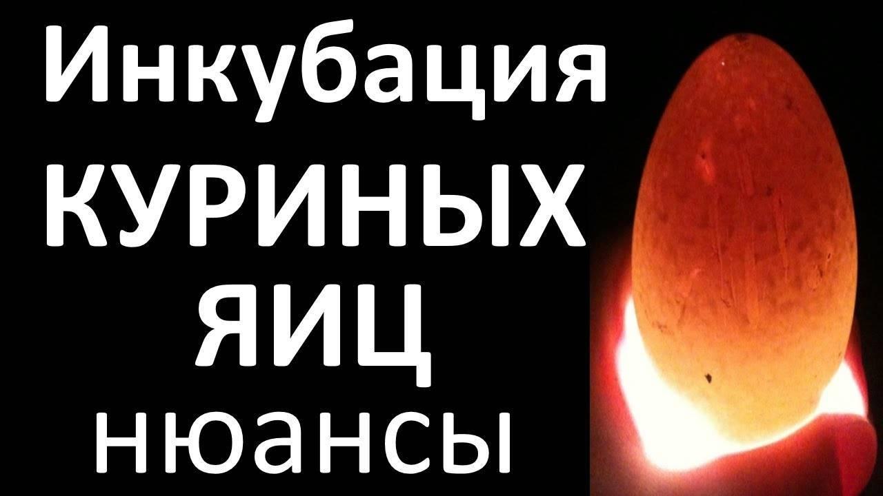 Инкубация яиц: положение яйца и развитие зародыша