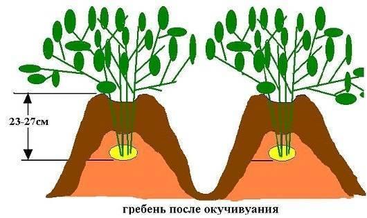 Как правильно окучивать картофель? сроки, количество, плюсы и минусы. фото — ботаничка.ru