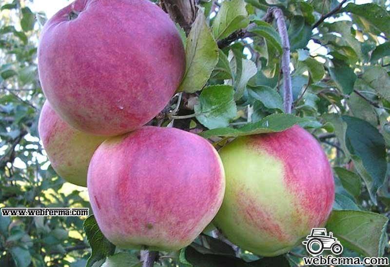 Яблоня «Уэлси»: описание сорта, фото, посадка и уход, отзывы