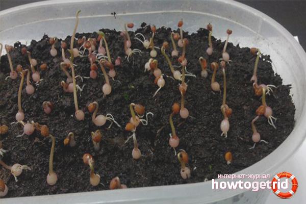Как вырастить цикламен в домашних условиях из семян. правильная пересадка растения