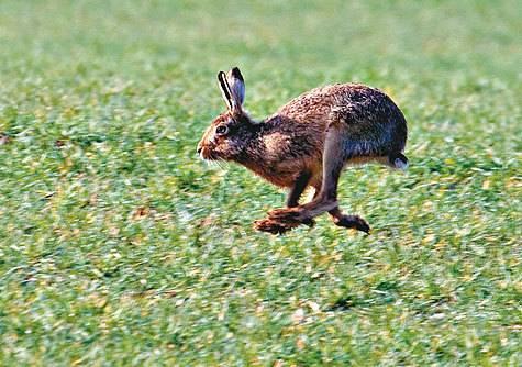Заяц-русак — википедия. что такое заяц-русак