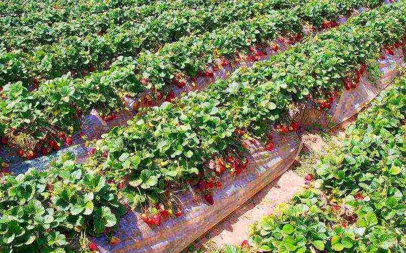 Посадка клубники осенью - 115 фото правильной технологии посадки поздних сортов клубники