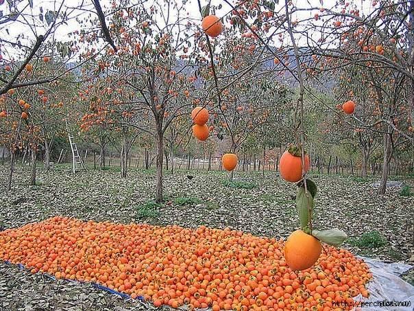 Дерево хурма: описание, где растет, особенности выращивания (посадка и уход) + популярные виды и морозостойкие сорта