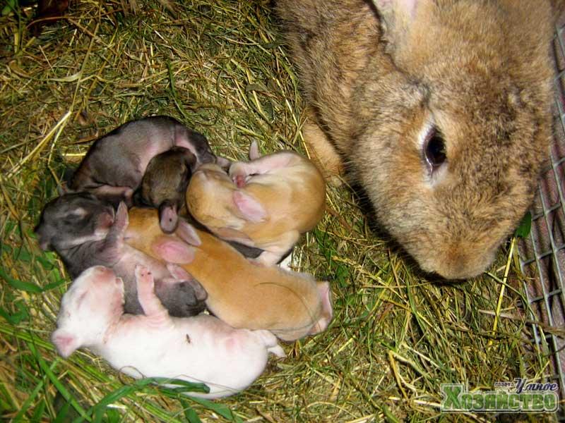 Домашний кролик: разведение, строение, уход и содержание кроликов (135 фото + видео)