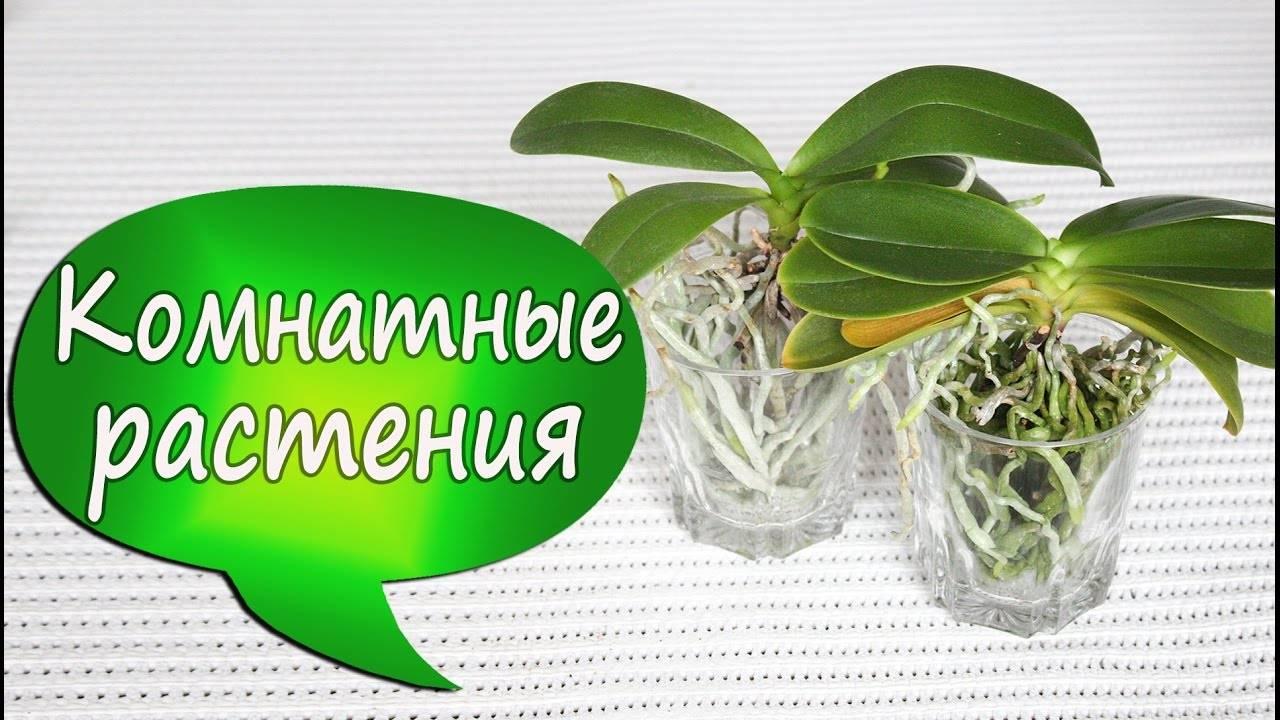 Орхидея ванда: уход в домашних условиях с фото и видео, посадка и уход, выращивание в стеклянной колбе, размножение семенами, а также реанимация
