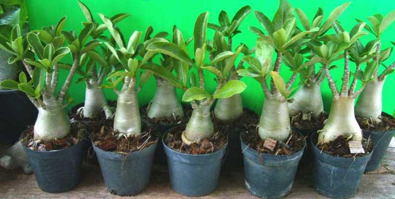 Адениум из семян. выращивание из семян (правила посева)