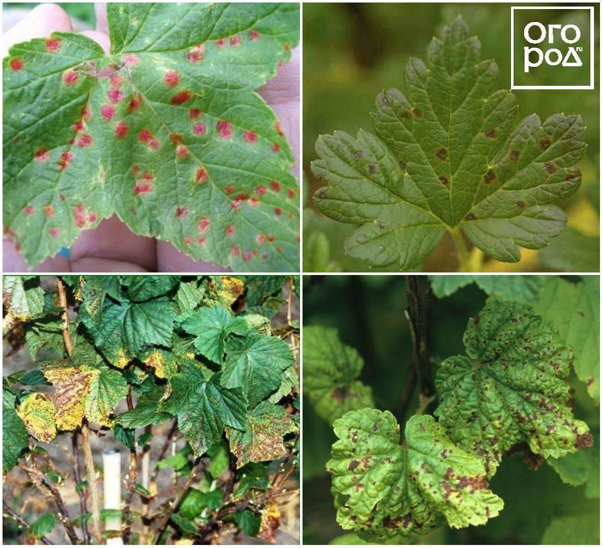 Болезни красной смородины: фото и их лечение, методы борьбы с вредителями