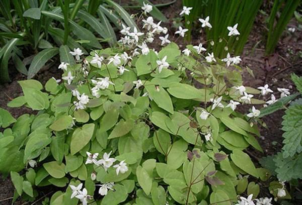 Горянка: посадка и уход в открытом грунте, лечебные свойства