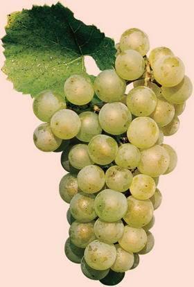 Описание винограда шардоне и использование для изготовления вина