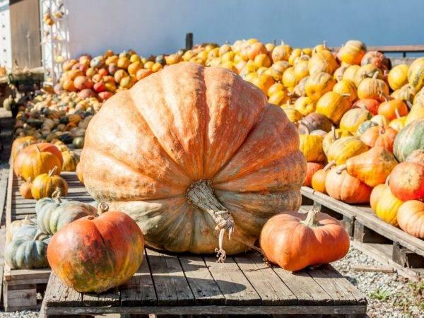 Сорт гигантской тыквы: топ-7 крупных сортов овоща и 10 секретов их выращивания   огородники