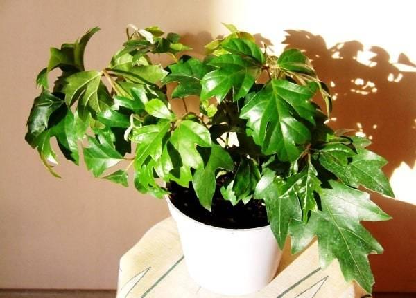Цветок циссус, выращивание и размножение и уход.