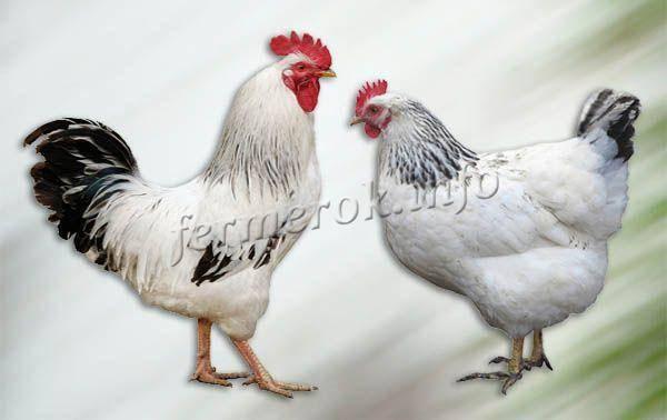 Курица породы первомайская: содержание и уход