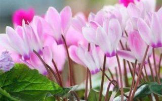 Цикламен в саду: правила, секреты и рекомендации | огородники