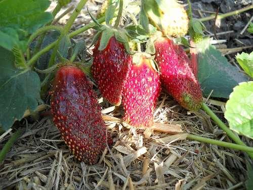 Клубника виктория: описание сорта, отличия от земляники садовой