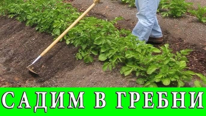 Картофель. формирование гребней   fermer.ru - фермер.ру - главный фермерский портал - все о бизнесе в сельском хозяйстве. форум фермеров.