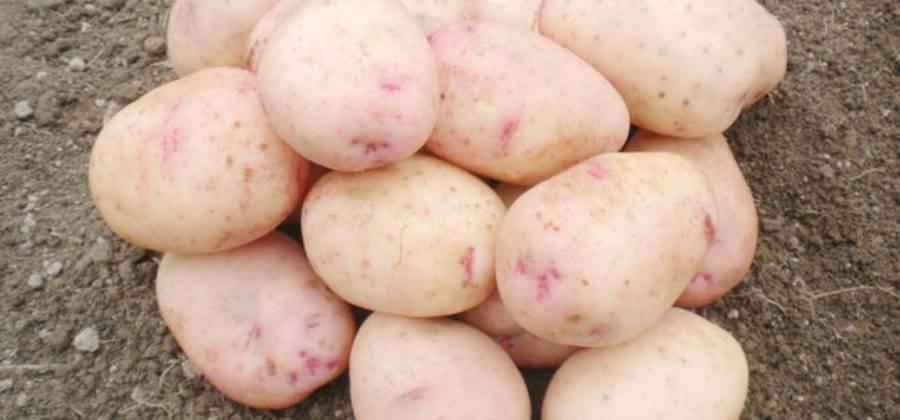 Картофель аврора: описание и характеристика сорта, достоинства, отзывы, фото