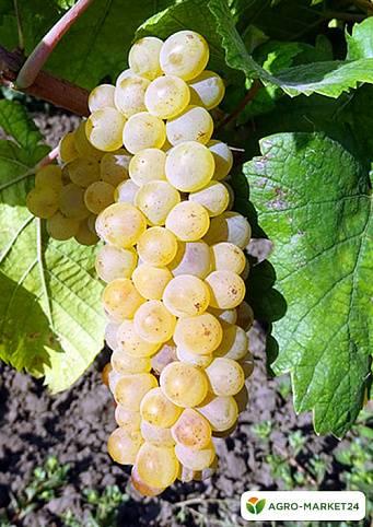 Сорт винограда шардоне: описание