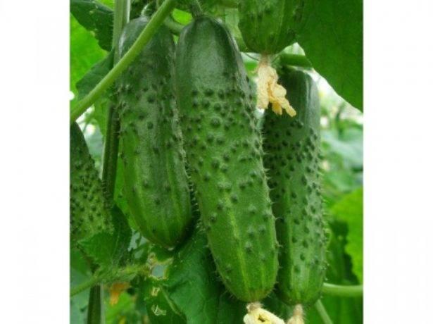 Огурцы хрустящая грядка: описание, ценность сорта, советы по выращиванию, особенности посадки, агротехника, отзывы
