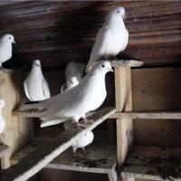 Содержание голубей в домашних условиях